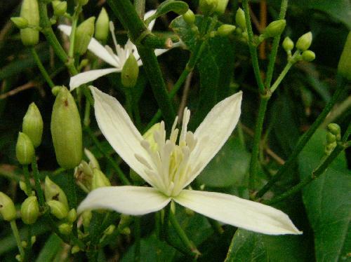 センニンソウ 夏 小さな白い花 白い部分はガク