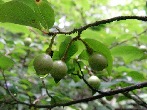アブラチャン 秋 黄色に熟す球形の実