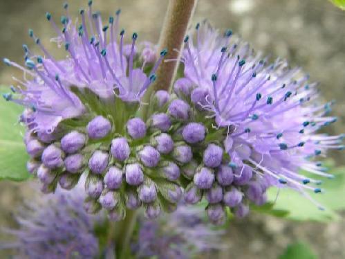 ダンギク 秋 紫色の花