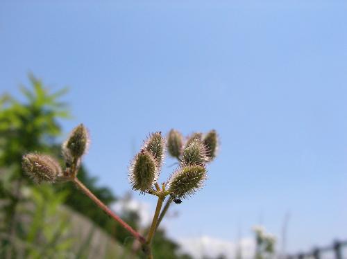 オヤブジラミ 春 返しのついた毛が生えた楕円形の実 ヒッツキムシ