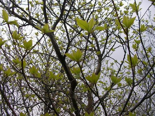 リョウブ 黄緑色の新芽