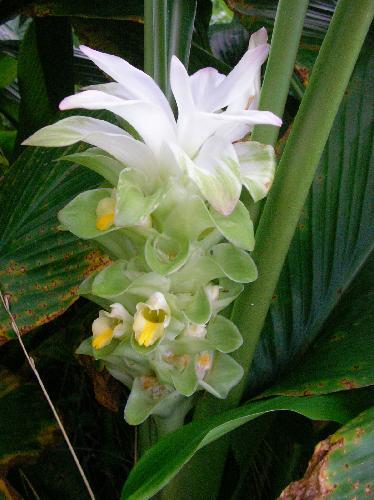 ウコン 夏秋 黄色い花
