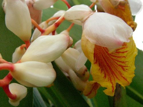 ゲットウ 夏 黄色い花