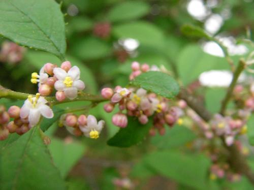 ウメモドキ 晩春~初夏 白または薄紫の極小さな雄花