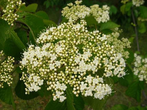 ガマズミ 春 小さな白い花がたくさん咲く