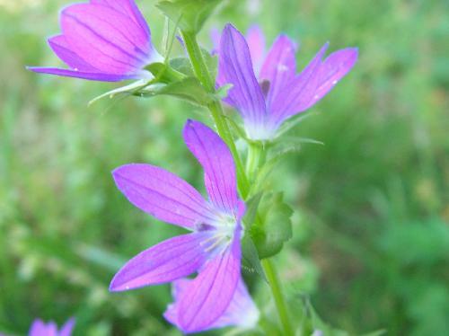 キキョウソウ 晩春~初夏 小さな赤紫色の花