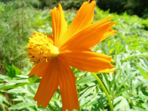 キバナコスモス 夏秋 黄橙色の花