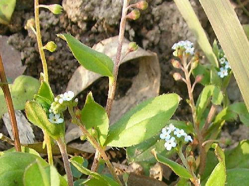 キュウリグサ 春 水色の極小さな5弁花