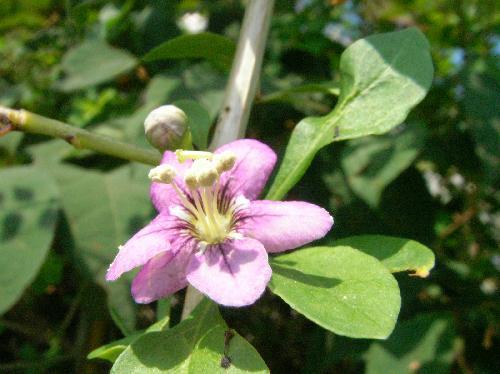 クコ 夏 小さな赤紫色の花