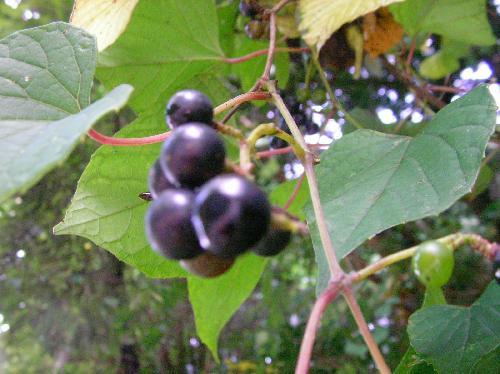 サンカクヅル 秋 黒紫色に熟す球形の実