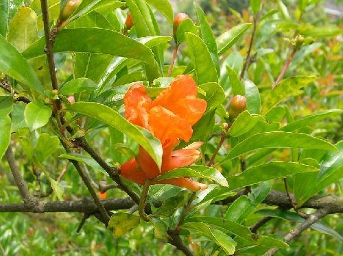 ザクロ 晩春-初夏 赤橙色の花