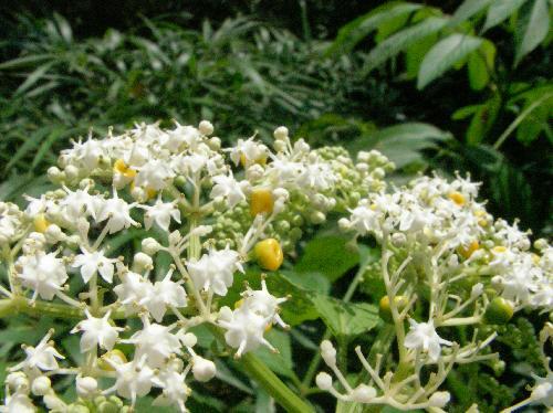 ソクズ 夏 白い花