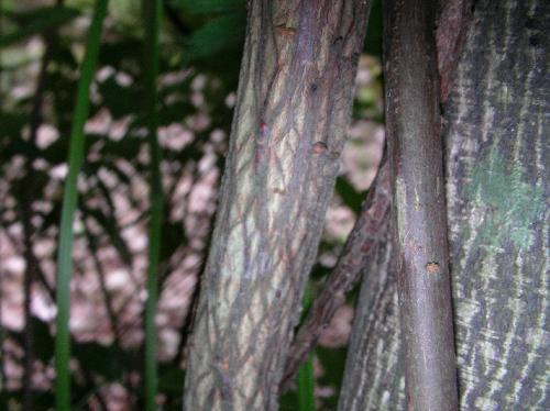 ツルコウゾ 紫褐色