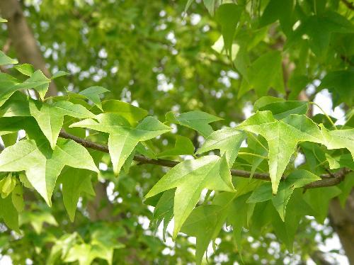 トウカエデ 葉は三裂 掌状葉 円形 対生