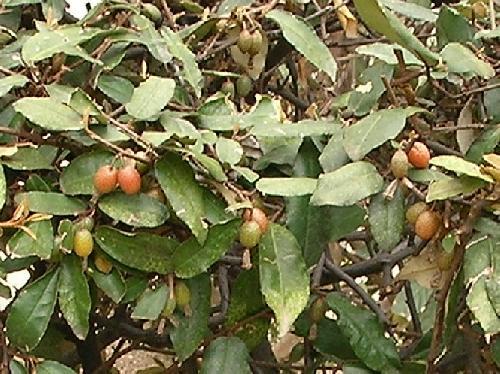 ナワシログミ 春 楕円形の赤い実