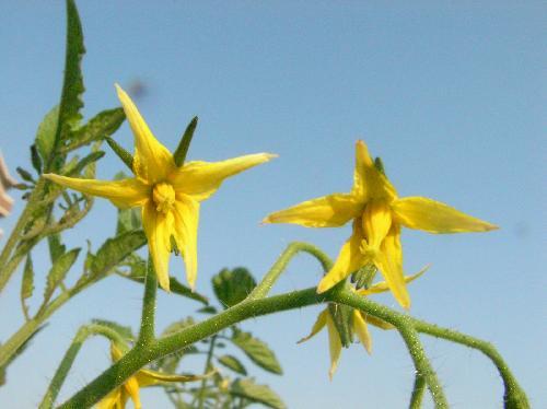 トマト 夏 小さな黄色い5弁花