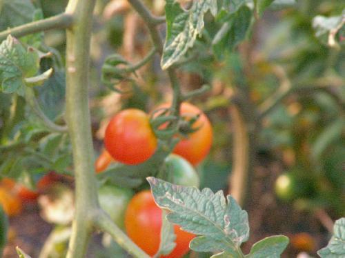トマト 赤く熟す球形の実