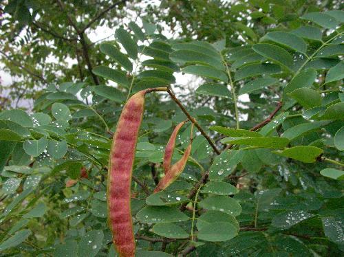 ハリエンジュ 夏 赤褐色の豆果