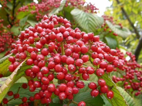 ガマズミ 秋 楕円形の実は赤く熟し次第に黒ずむ