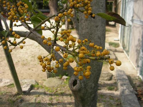 クロガネモチ 秋冬 黄色い球形の実