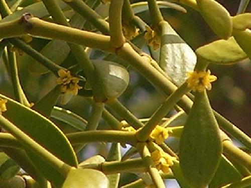 ヤドリギ 初春 極小さな黄色い花