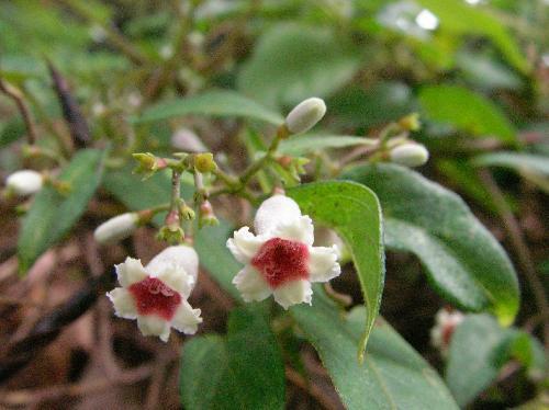 ヘクソカズラ 夏 中央部が赤紫色の小さな白い花