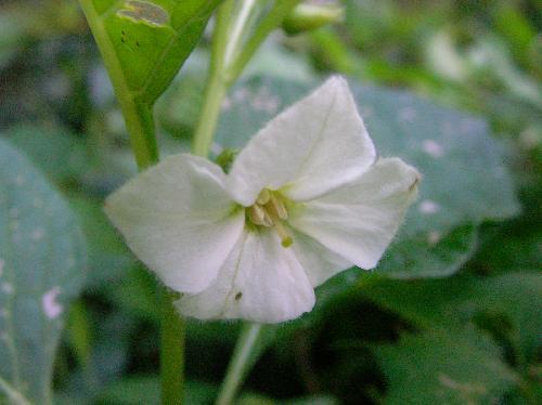 ホオズキ 夏 小さな白い花