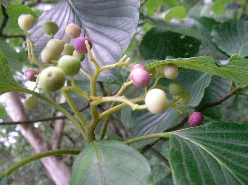 ミズキ 夏秋黒紫に熟す球形の実