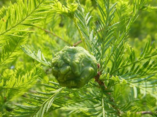 ラクウショウ 秋茶褐色に熟す球形の実