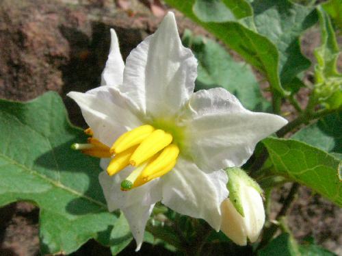 ワルナスビ 夏 小さな白または薄紫色の花