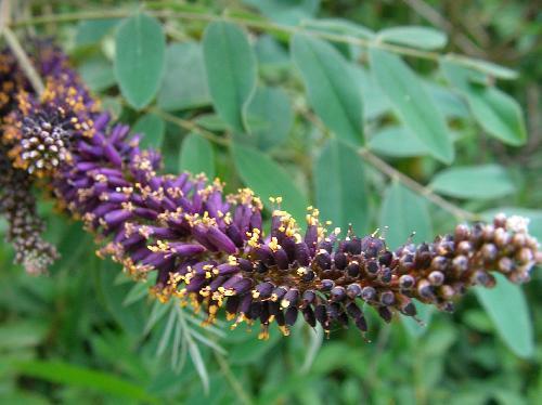 イタチハギ 晩春~初夏 紫色の花