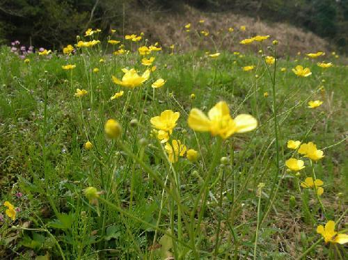 春 光沢のある黄色の花