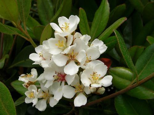 シャリンバイ 春 白い5弁花