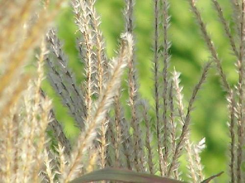 ススキ 秋 綿毛の付いた種子