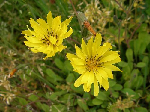 オオジシバリ 春 黄色い花