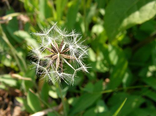 オオジシバリ 初夏 綿毛の付いた種子