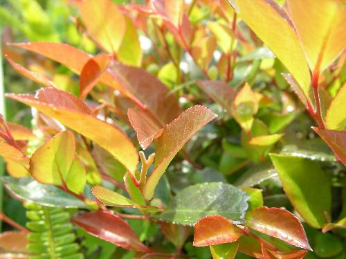 シャシャンボ 新しい葉は赤みを帯びる