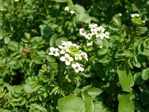 オランダガラシ 春 小さな白い4弁花
