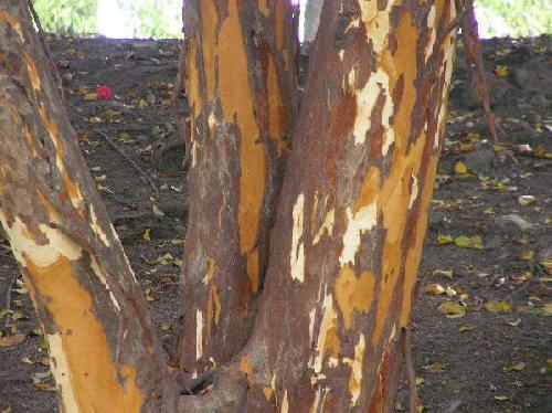 バクチノキ 樹皮がはげて赤茶色のまだら模様になる