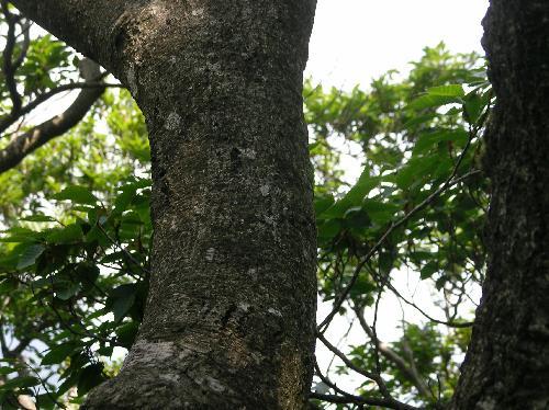 ブナ 灰褐色の樹皮