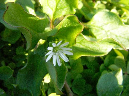 コハコベ 春 小さな白い花