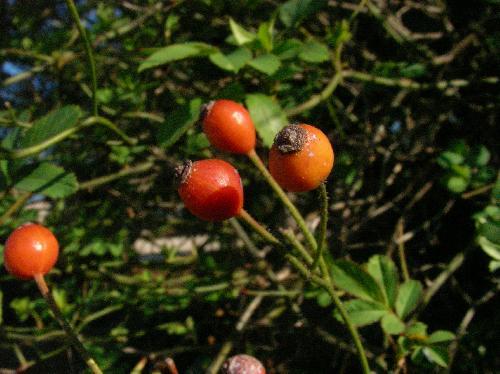 ノイバラ 秋初冬 楕円形 赤橙