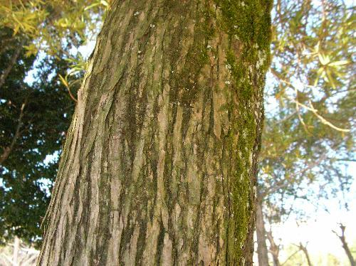 イヌマキ 茶褐色 樹皮は縦方向に裂ける
