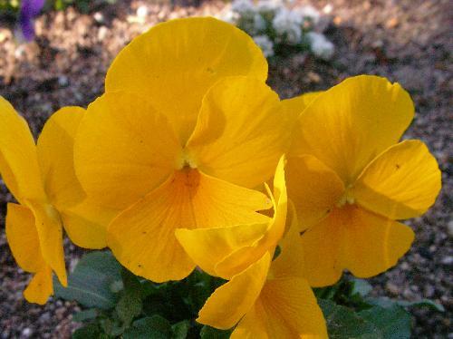 ビオラ 冬春 黄