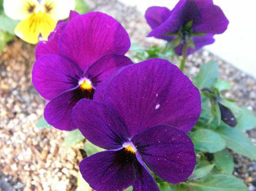 ビオラ 冬春 紫