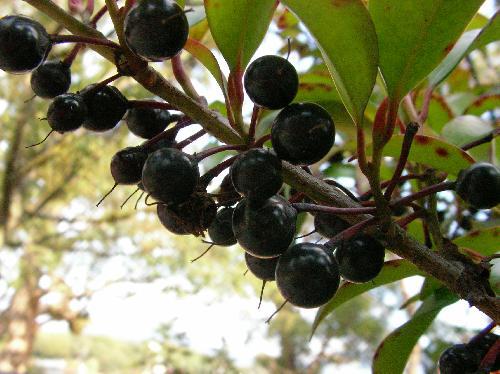 サカキ 冬 球形で黒紫の実