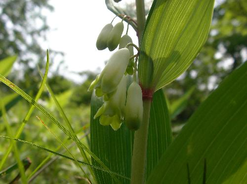 ナルコユリ 春 先端が緑色の白い花