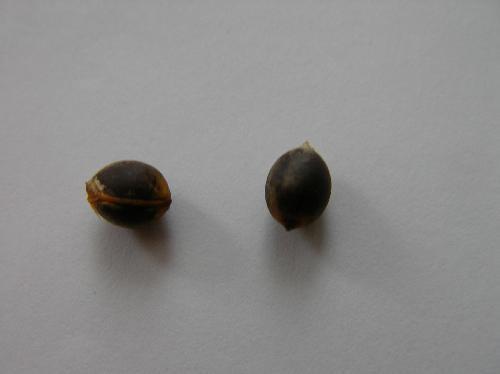 コショウノキ 黒褐色で楕円形 コショウに似ている?
