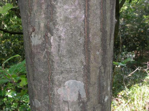 クリ 白灰褐色で縦に小さな割れが出来る