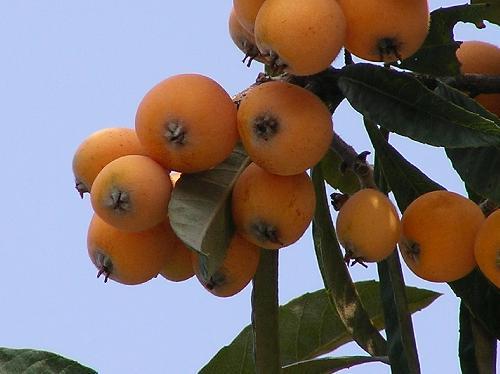 ビワ 初夏 黄橙 楕円形